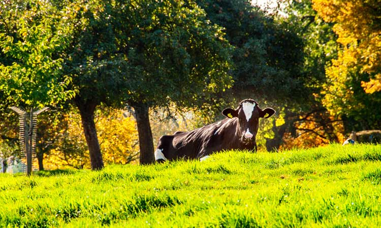 limburgs-landschap-koeien