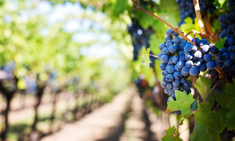 wijngaard-limburg